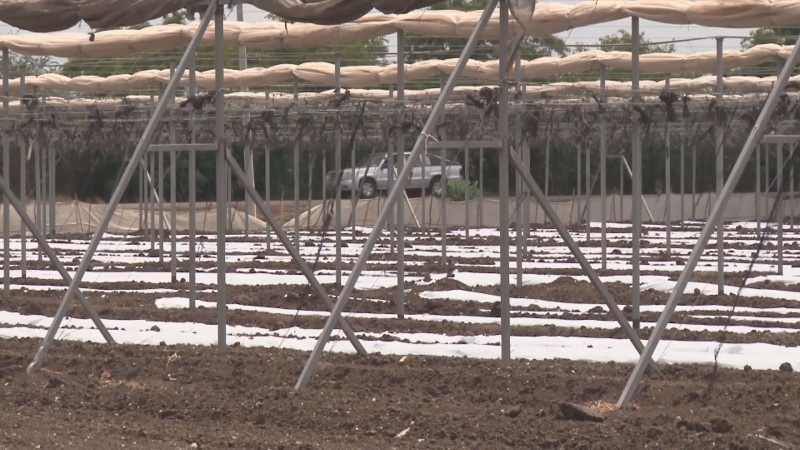 Crecimiento de horticultura protegida en el centro del país, provoca escasez de mano de obra en Sinaloa