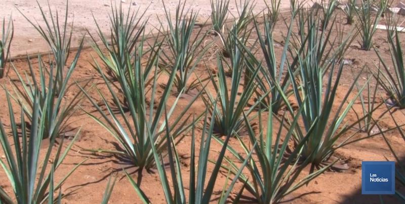 Detonar la región de Bacanora es prioridad para el Gobierno de Sonora