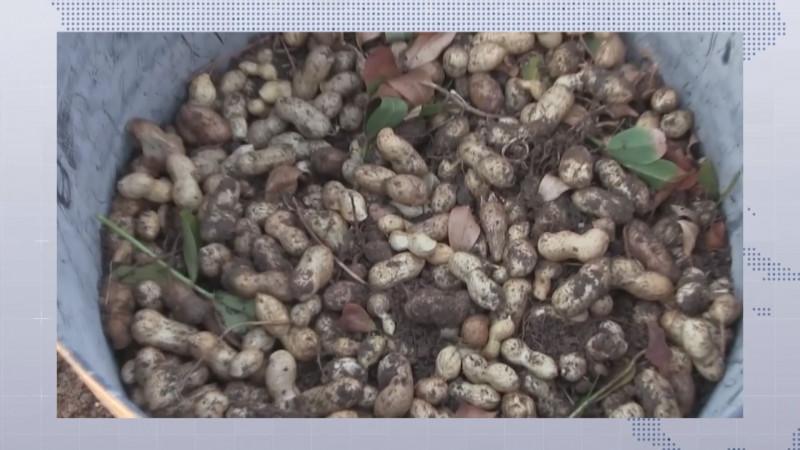 Necesitan productores de cacahuate de Mocorito esquemas de comercialización