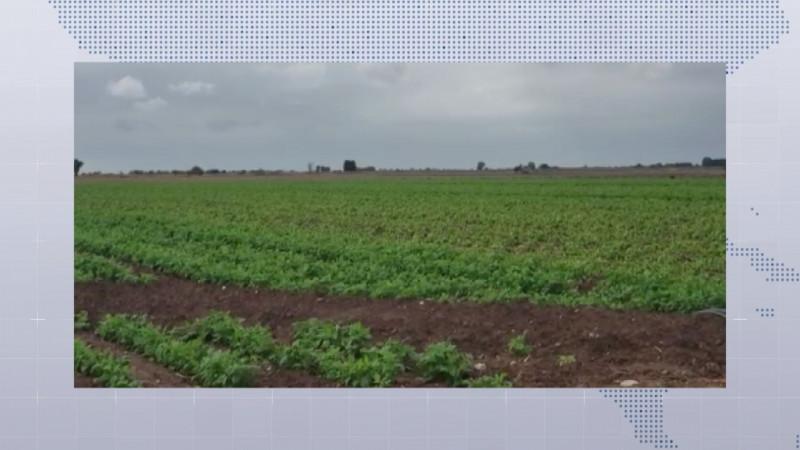 Por daños en frijoles podría mejorar el precio de la leguminosa
