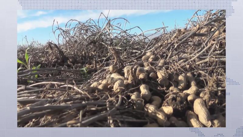 Distribuirán apoyos entre los productores de cacahuate de Mocorito