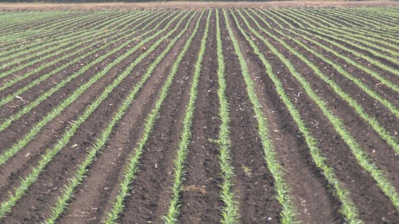 Poco mas de 447 mil 500 hectáreas han sido sembradas en el actual ciclo agrícola