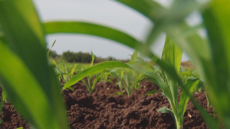Ampliarán plazo para solicitar el permiso único de siembra a productores de maíz