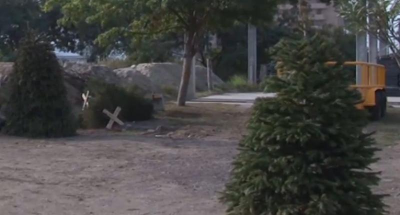 Bomberos Mazatlán recomienda NO conservar pinos naturales en casa