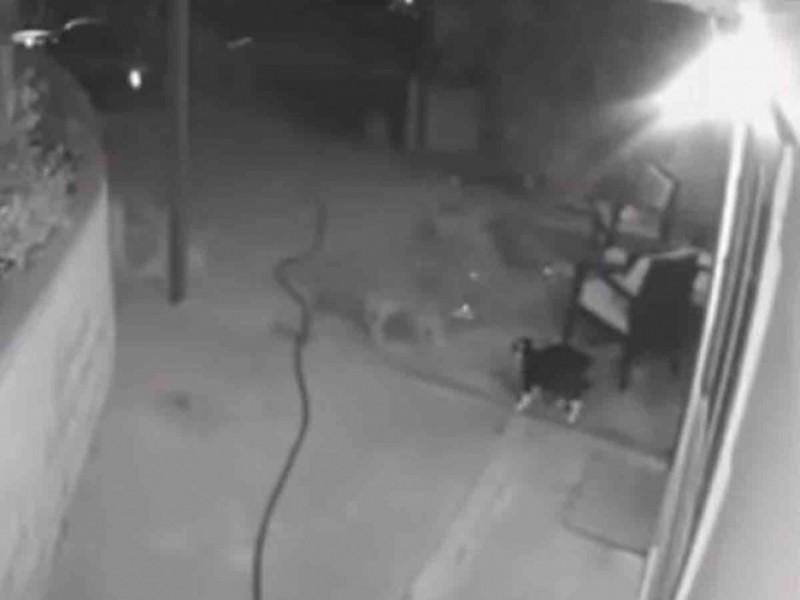 Gato protege a su dueña al enfrentarse con tres coyotes