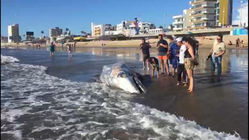 Ballena gris encalla en playas de Mazatlán