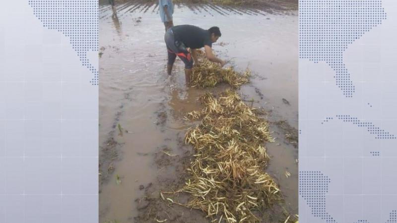 Severos daños a los cultivos de frijol causarán bajos rendimientos en la cosecha