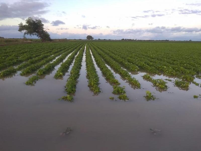 Daños en cultivos de frijol por lluvias