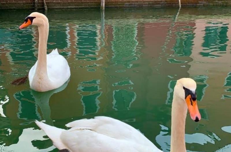 Cisnes y aguas cristalinas en una Venecia recluida por el coronavirus