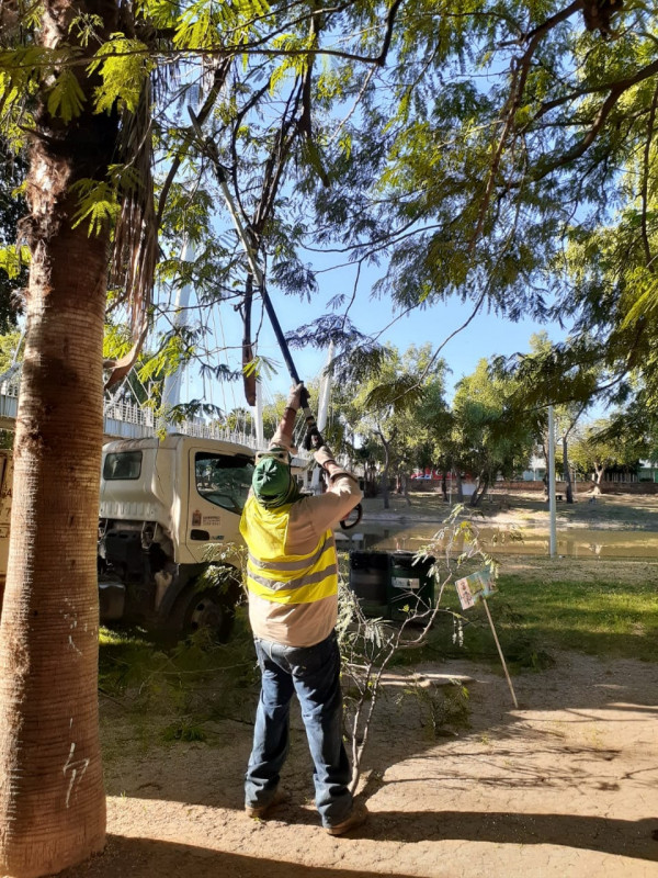 Sigue el mantenimiento de palmeras en la ciudad de Culiacán