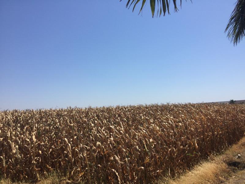 Segalmex da a conocer mecánica de precios de garantía para maiz