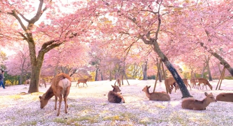 Video: Ciervos descansan tranquilos en bosque de cerezos por la falta de turistas