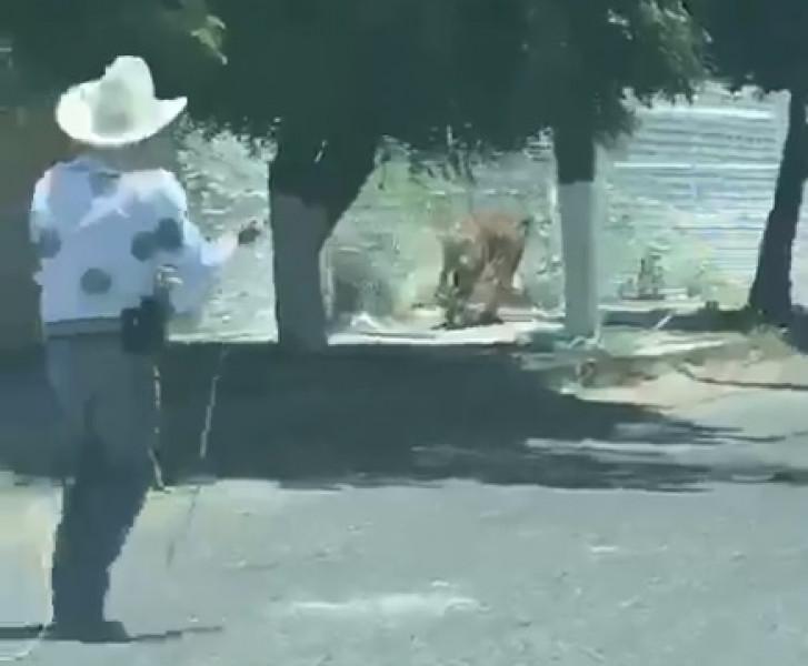 Video: Tigre se escapa en Jalisco y hombres tratan de capturarlo con cuerdas al estilo charro