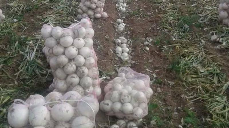 Productores de Chihuahua arrojan costales de cebolla al río por caída de precios