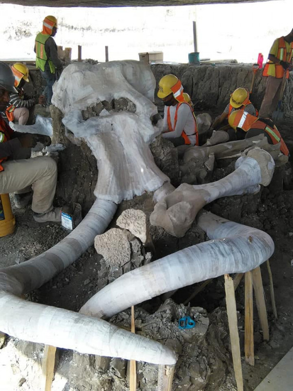 Mira los restos de 60 mamuts que se encontraron en aeropuerto del Estado de México