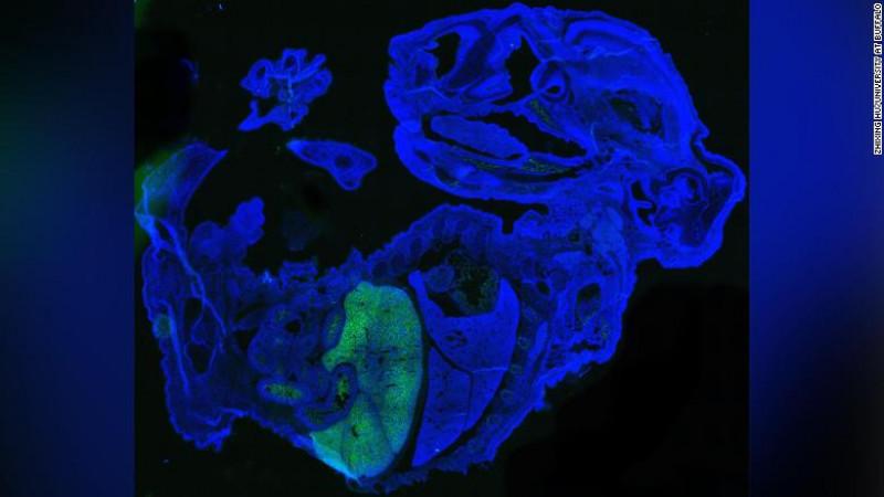 Científicos crean un embrión de ratón que es 4% humano