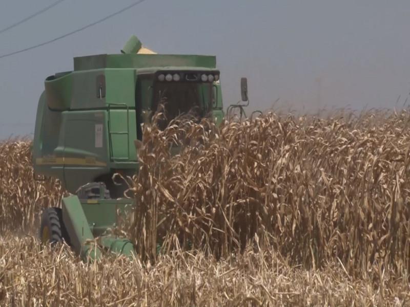 Contratadas 5 millones de toneladas de maíz , según información de los centros de acopio