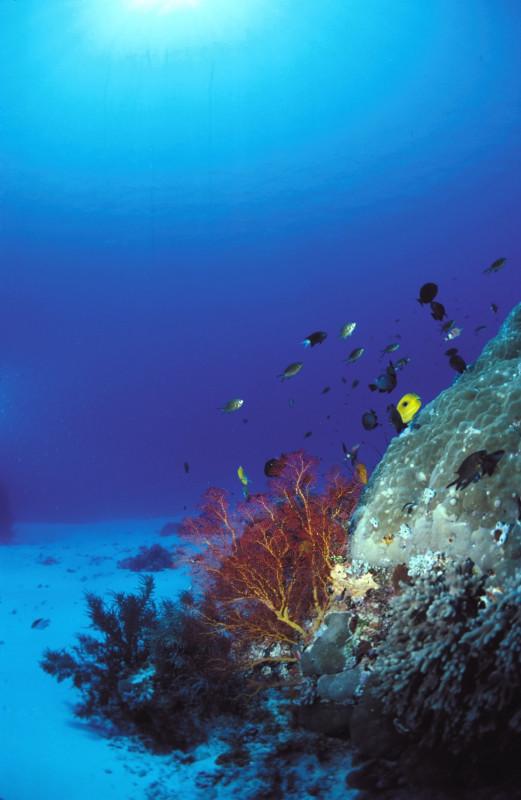 """Corales """"evolucionados"""" a prueba de cambio climático"""