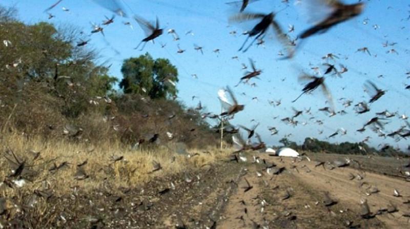 Brasil declara alerta sanitaria por plaga de langostas voladoras al norte de Argentina