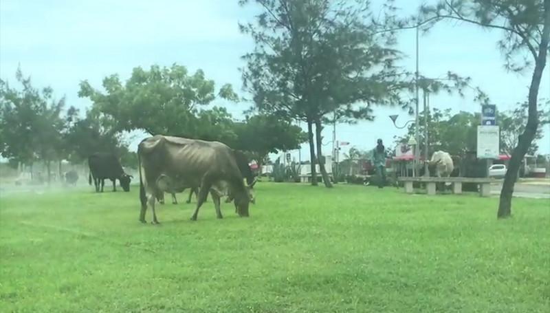 """Vacas salen a darse un """"chapuzon""""; son pastoreadas en pleno Parque Lineal"""