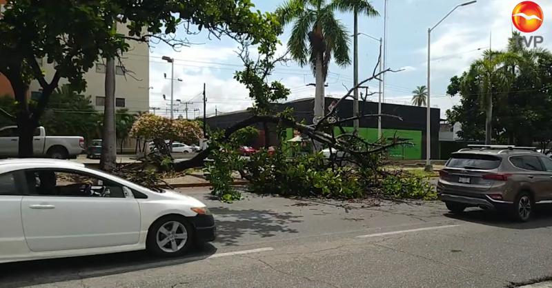 Por lluvias, cae árbol y afecta circulación