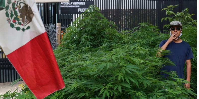 Crece plantío de marihuana frente al Senado de la República en la Ciudad de México