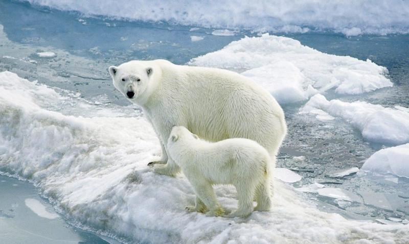 Científicos consideran que la extinción de los osos polares es inevitable