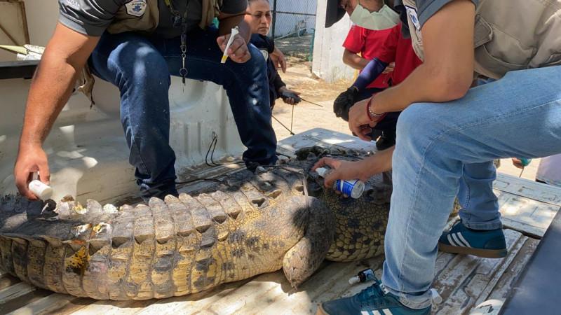Capturan un cocodrilo en la comunidad del Habalito del Tubo
