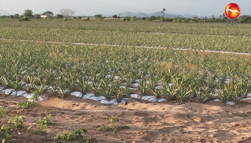 Agricultores del sur de Sinaloa, le apuestan a la cosecha de piña