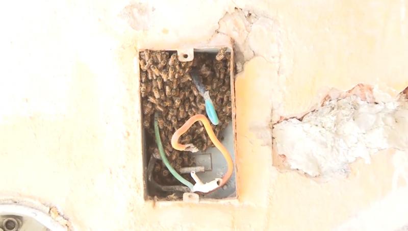 Ya inició la temporada de abejas en Mazatlán