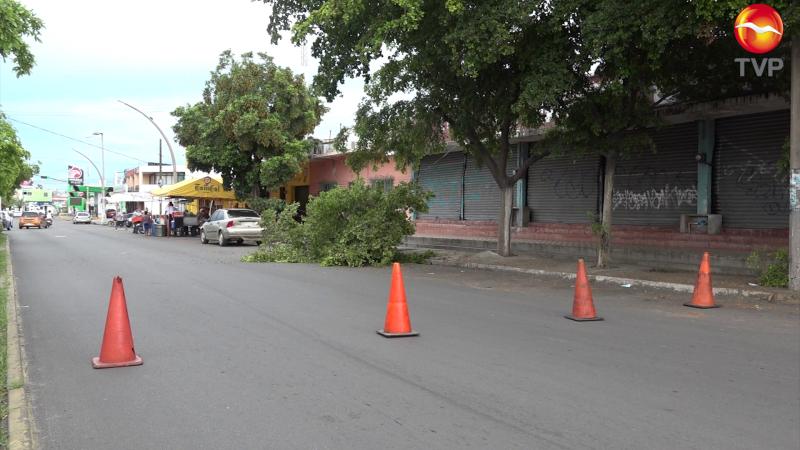 Se cae árbol en la Av. Juan Carrasco