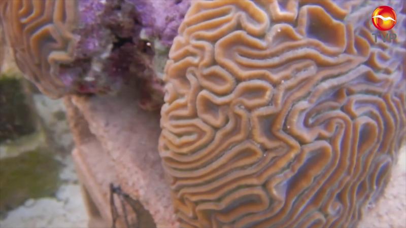 Impulsan proyecto de restauración de arrecifes coralinos