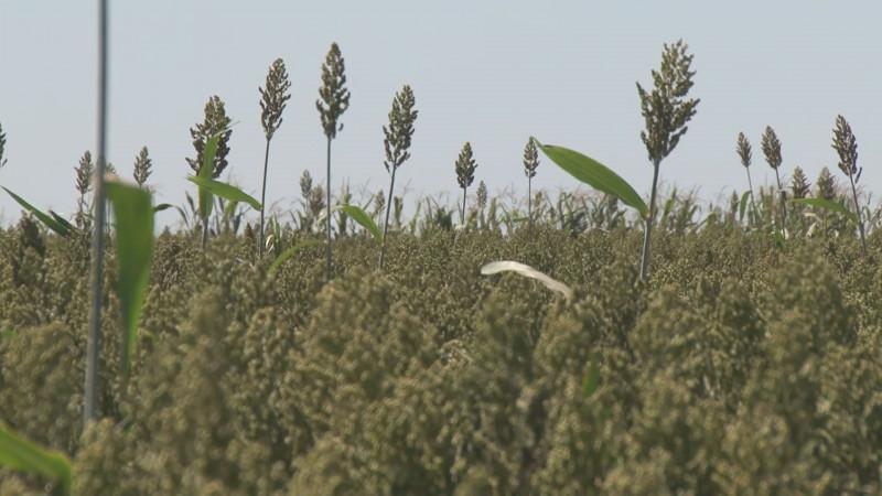 Luchará Sinaloa para que se apoye a productores de sorgo