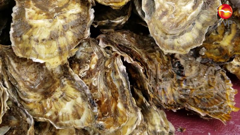 Arranca la zafra del ostión de piedra en el Pacífico