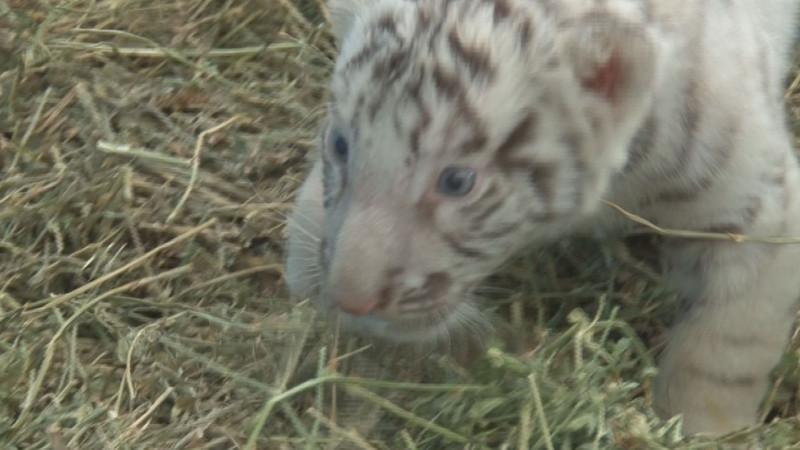 Presentan a un nuevo integrante del zoológico un tigre blanco