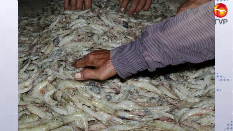 Capturan más 76 mil kilos de camarón en campos del sur