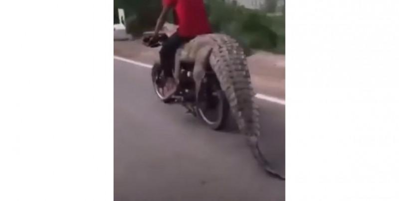 Indignante video de sinaloenses que cazan caimán y se lo llevan en motocicleta