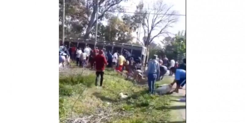 Video: se vuelca camión que transportaba cerdos vivos y los vecinos luchan por robarlos