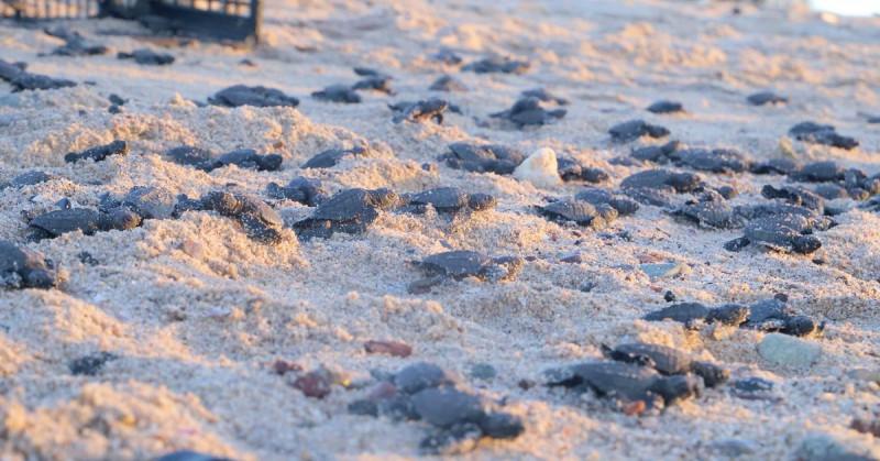 La pandemia favorece histórica eclosión de tortugas en el noroeste de México
