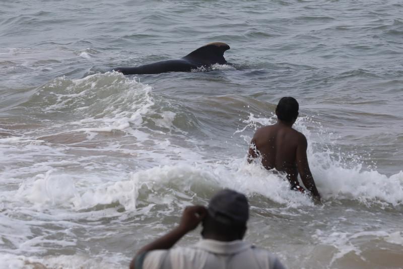 Sri Lanka salva a 120 ballenas varadas con la ayuda de cientos de voluntarios