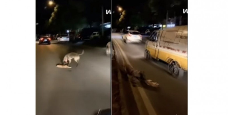 Graban el triste momento en el que un perro intenta revivir a un gato atropellado