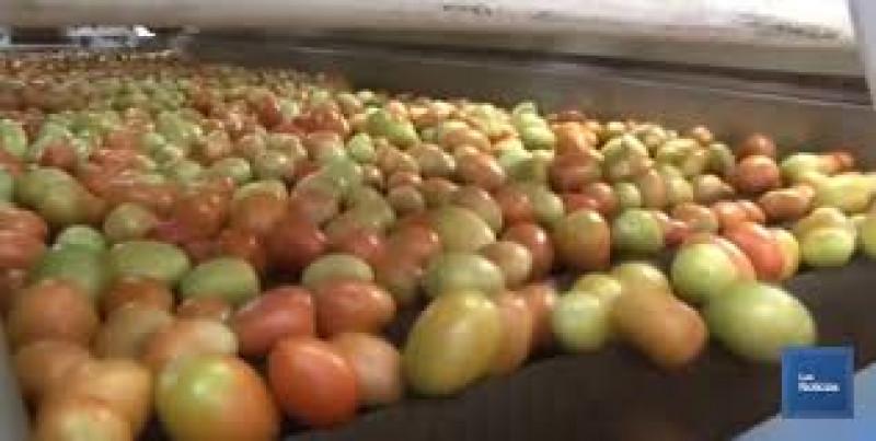 Producción de jitomate orgánico en invernadero es incipiente