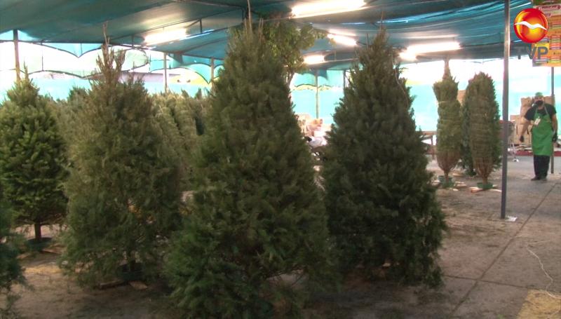 Ya inició la venta de pinos naturales en Mazatlán