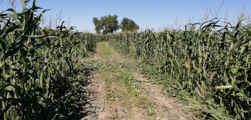Agricultores de la zona norte se ven afectados por falta de amoniaco