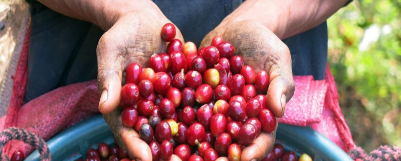 La producción de café de Colombia cae un 4 % en noviembre