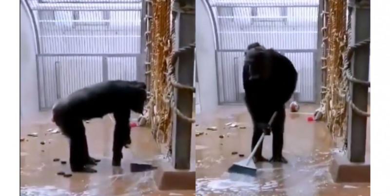 ¡Más limpio que muchos! Graban a chimpancé imitando a sus cuidadores y barriendo su jaula