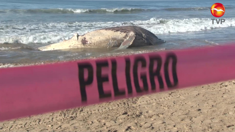 Entierran a ballena que encalló en playas de Mazatlán