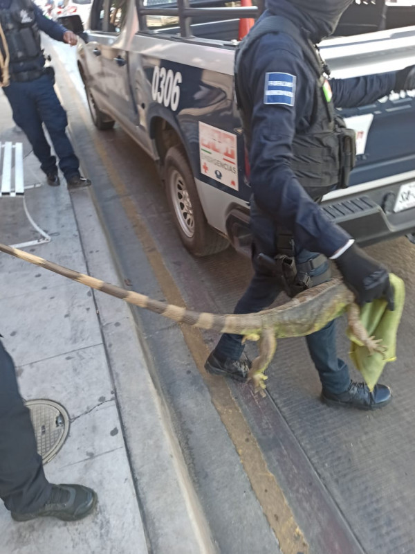 """Conoce a la iguana """"Godín"""", dentro de una cajero"""