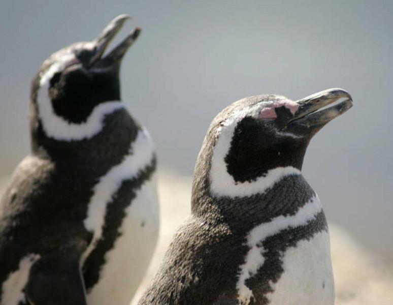Brasil rescató este año en sus playas 5.597 pingüinos varados