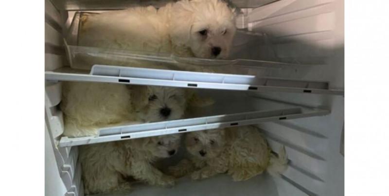 Rescatan de un refrigerador a cuatro perros maltés que iban a ser vendidos ilegalmente